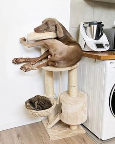 This dog sleep any place Funny Dogs, Funny Animals, Cute Animals, Baby Animals, Weimaraner, Goofy Dog, Baby Hippo, Sleeping Dogs, Top Funny