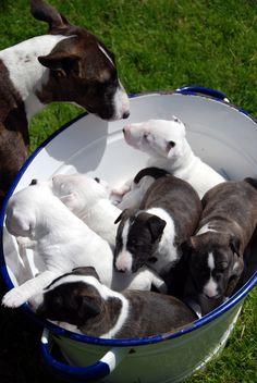 English Bull Terriers, Bull Terrier Dog, Boston Terrier, Beautiful Dogs, Bellisima, Puppy Love, Best Dogs, Doggies, Cute Animals