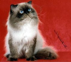 For Himalayan Stud And Blue Point Seal Male Kitten Wallpaper - JoBSPapa.com