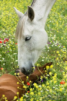 Andalusian mare with foal, Spain