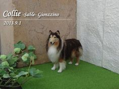 """Needle felted my rough collie """"Gionzzino"""" made by my friend finished before color fixed on 1 Sep. '13"""