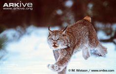 Canada lynx running in snow