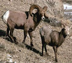 Sexual dimorphism big horned sheep Wild Life, Sheep, Inspire, Big, Animals, Animales, Animaux, Wildlife Nature, Animal