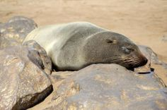 """Researchers have learned how seals can sleep with only half of their brain at a time. """"""""Seals do something biologically amazing -- they sleep with half their brain at a time. The left side of their brain can sleep while the right side stays awake. Seals sleep this way while they're in water, but they sleep like humans while on land."""""""