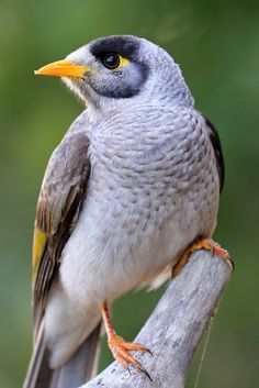 The Noisy Miner (Manorina melanocephala) is a gray bird with a distinctive yellow patch behind the eye, yellow-orange bill and feet and a yellow=olive patch on the wing. It eats nectar, fruit and insects. It is a notably aggressive bird