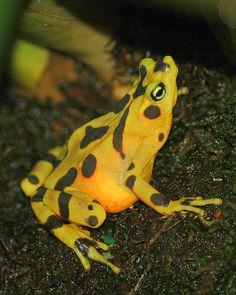 ˚Panamanian Golden Frog