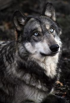 The lovely thick coat of Wolf may range in color, from pure white in the Arctic populations, to grey, brown, black and cinnamon ♥