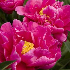'Karl Rosenfield' Peony, ruffled, red double blooms look like fluffy petticoats in full swing.