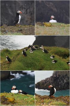 head to dyrhólaey in iceland for a surefire puffin sighting!
