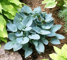 Medium Hosta Cultivar Self seedling of Dorset Blue'.  Excellent blue hosta from Herb Benedict that offers thick foliage and intense blue color. Heart-shap