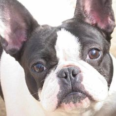 Double Pied French Bulldog, via Batpig & Me Tumble It