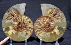 FREE USA Shipping Dinosaur Fossil Pair ammonite by Paulstaberminerals, $349.99