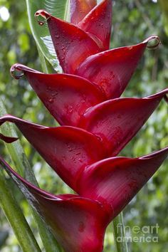 red heliconia - Google Search