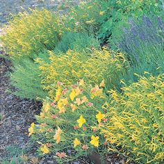 Mersea Yellow is an English selection of our native pineleaf Penstemon grown for its bright yellow tubular flowers that cover the plant in late spring/early summer. This small shrub has attractive evergreen, pine needle like foliage and a tidy mounding form.