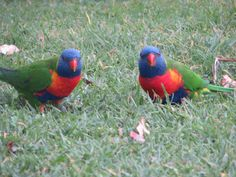 Rainbow lorikeets come to visit us at Port Macquarie camp Port Macquarie, Travel Pictures, Coast, Rainbow, Travel Photos, Rain Bow, Rainbows, Vacation Pictures