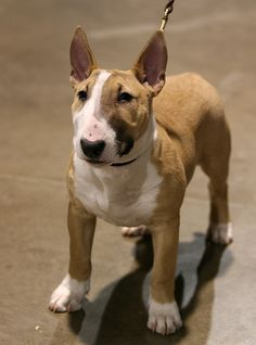 Bull Terrier puppy. i love these little hefty guys i so want one when i have a house!! the bf will have to get use to it haha