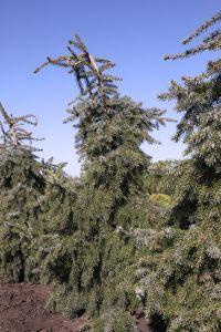 Питомник растений в Воронежской области: декоративные и плодовые деревья и кустарники.