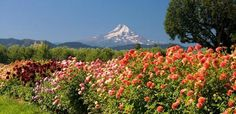 You pick flowers, a mountain view on the Fruit Loop in Hood River, Oregon