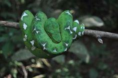 Cobra bico de papagaio