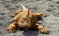 A land iguana in the Galapagos. (From: 10 Islands to See Before You Die)