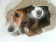 Hide and seek with jrt Pippa and her chihuahua friend Joey