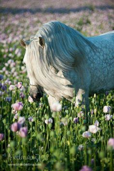Spanish Pure Breed Andalusian thoroughbred horse         photo: @Bettina Niedermayr