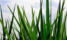 Brachiaria grass has been shown to inhibit nitrification, helping to reduce the greenhouse gas emissions from agriculture. Photograph: Neil ...