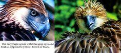 Great Philippine Eagle.
