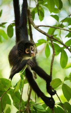 young spider monkey feeding on fresh leaves in Guatemala