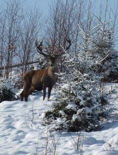 Carpathian deer , W Ukraine