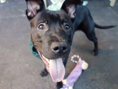 SAFE 01/05/15 --- Manhattan Center   ANUBIS - A1023866  MALE, BLACK, PIT BULL MIX, 1 yr STRAY - STRAY WAIT, NO HOLD Reason STRAY  Intake condition EXAM REQ Intake Date 12/22/2014, From NY 11209, DueOut Date 12/25/2014,  https://www.facebook.com/photo.php?fbid=929575013722045