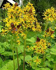 Soihtunauhus on upea kasvi perhospuutarhaan. Soihtunauhus, Ligularia x hessei, fackelstånds