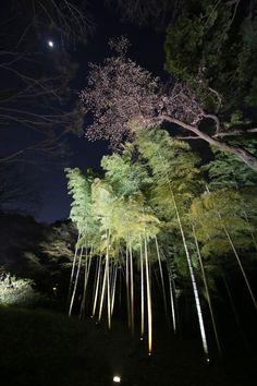 六義園 しだれ桜 夜桜 rikugien_shidarezakura (9)