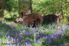 Wild Boar parents leading their charges through the piglet-high Bluebells
