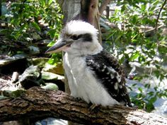 Kookaburra, they have the most amazing laugh!