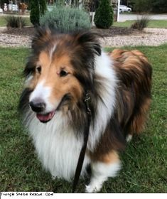 Adopt Georgie On Adoptable Corgi Dog Dogs Adoption