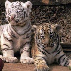 To pet a tiger :)
