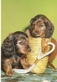 Two dachshund puppies play in a tote bag - vintage postcard