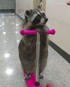 Things that make you go AWW! Cute Little Animals, Cute Funny Animals, Animal Pictures, Funny Pictures, Pet Raccoon, Rocket Raccoon, Tier Fotos, Cute Creatures, Animal Memes