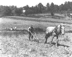 Plowing corn with a mule on Coker Creek, Tennessee 1946