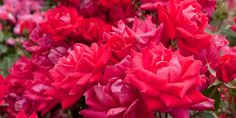 Simple Rose, Real Simple, Drift Roses, Rose Varieties, Shrub Roses, Yard Care, Hybrid Tea Roses, Low Maintenance Garden, Flowers For You