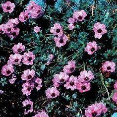 Flower Plants, Flower Gardening, Planting Flowers, Alpine Garden, Alpine Plants, Rock Flowers, Grey Flowers, Garden Inspiration, Garden Ideas