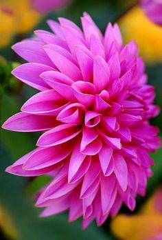 A hot pink dahlia