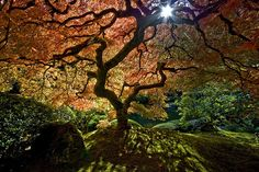 'The Maple' at the Japanese Gardens in Portland, Oregon.