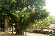 A magnificent tree, Java Indonesia