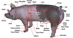 Google Image Result for http://www.geauga4h.org/swine/swine_body_parts_labeled.jpg