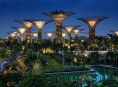 Les arbres de Singapour (26)
