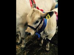 My Murray grey calf one first place at the Canterbury A&P show 2015