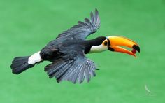 Toco Toucan by Andy Fu on 500px