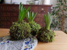 Le #kokedama est un art traditionnel japonais, à mi-chemin entre le bonzaï et l'ikebana (composition florale nippone). Il s'agit d'une nouvelle manière de faire pousser les plantes en intérieur, sans avoir recours au contenant de plastique. Je vous explique pas à pas comment mettre en scène vos végétaux avec une petite touche japonaise !, , Pour fabriquer votre Kokedama, il vous faudra :  - Une plante (j'ai pris des jacinthes de mon jardin)  - De la mousse  - De la ficelle et u..